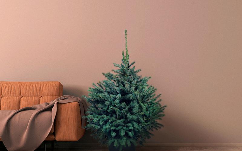 Голубая елка в кадке с доставкой в Москве и области